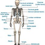 Human skeleton worksheets