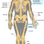 Human skelton