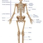 Skeleton labeling worksheet
